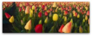 tulipani.1