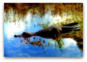 alligatore1