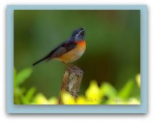uccello.1